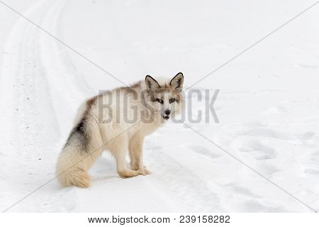 Red Marble Fox (vulpes Vulpes) Turns In Tire Tracks - Captive Animal