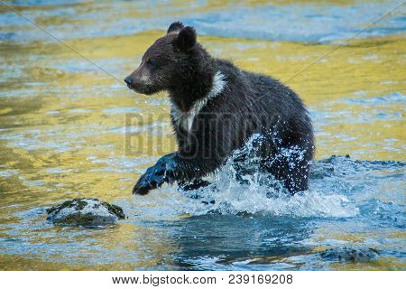 Little Grizzly Baby Bear Playing In Water Of Chilkat Inlet In Haines In Alaska, Great Opportunity Fo
