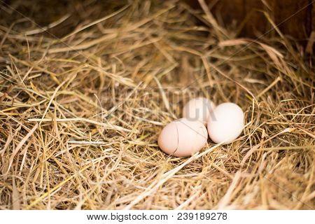 Farm Concept. The Lifestyle Of The Farm In The Countryside, Fresh Eggs From The Farm. Fresh Rural Eg