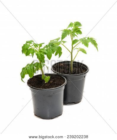 Tomato Seedlings In A Pot Isolated On White Background. Young Plants In Plastic Pot; Organic Gardeni