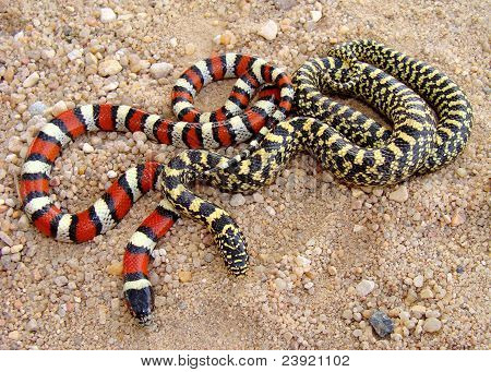 Central Plains Milk Snake and Speckled Kingsnake