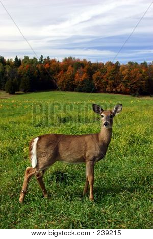 Female Deer On A Fall Day