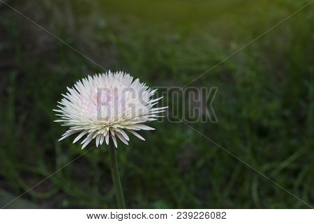 Transvaal Daisy Soft Pink Flower With Nature Green Background.