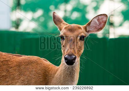 Close Up Of Eld's Deer Head Shot, Portrait Of Eld's Deer On Green Background