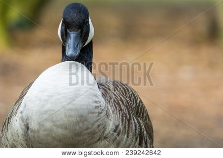 Close-up Of A Puffed Canada Goose In Spring. View To A Breeding Canada Goose (branta Canadensis). Na
