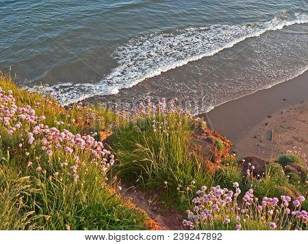 Pink Blooming Grass At The Coast. Waves With Whitecap