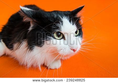 Mongrel black and white cat in stress looking aside on orange background. poster