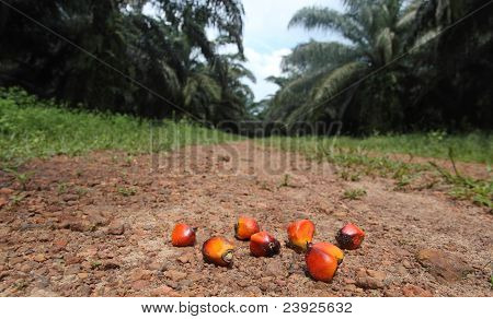 the palm seed on nature palm fields poster