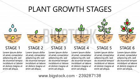 Plant Growth Stages Infographics. Line Art Icons. Planting Instruction Template. Linear Style Illust