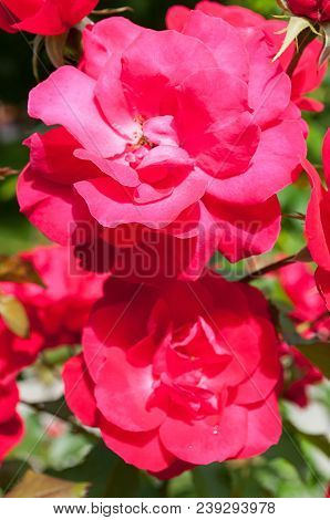 Summer Flowers Of Red Rose Blooming In The Summer Garden. Closeup Of Red Garden Roses In Summer Bloo