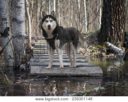 Dog Breed Husky. Portrait Of A Dog In The Woods Near The Stream