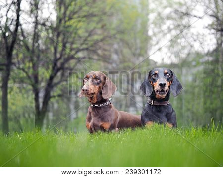 Portrait Of Two Dogs Breed Dachshund. Green Grass