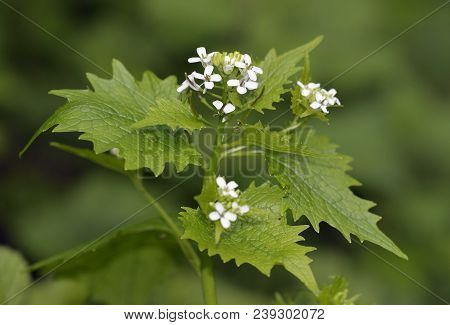 Garlic Mustard - Alliaria Petiolata  Common Plant Of Woodland Edge