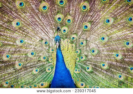 Indian Peafowl - Pavo Cristatus Displaying. Animal Scene. Beauty In Nature.