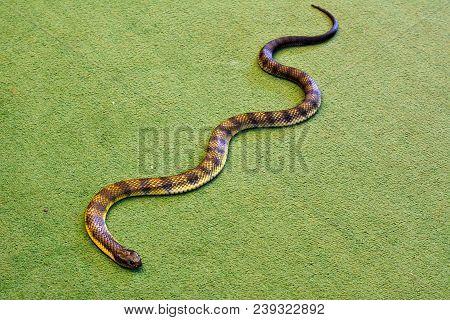Eastern tiger snake (Notechis scutatus scutatus) indoor on green carpet floor. Eastern tiger snake is a venomous snake found in Australia. poster