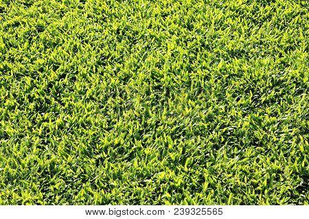 Top View Green Grass Field Seamless Background Texture