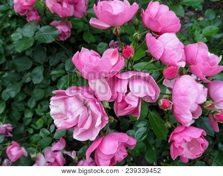 Elegant Floral Background With Many Delicate Magenta Rose Flowers Of