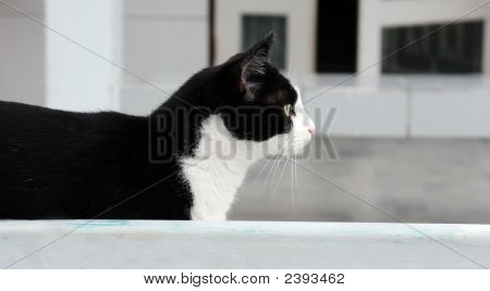Cute black and white cat stalking something. poster