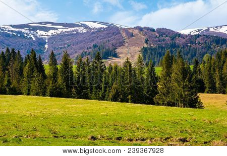 Spruce Forest On  The Grassy Hills. Beautiful Nature Scenery Of Carpathian Countryside. Lovely Lands