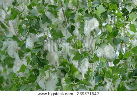 Pollen On The Poplar Tree, Pollen And Poplar Trees On The Spring Months,