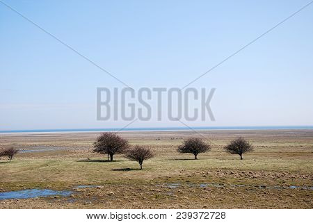 Group Of Trees In A Great Plain Grassland By Ottenby On The Swedish Island Oland