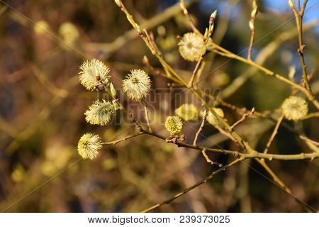 Closeup On Sunlit Blossom Willow Catkins Springtime