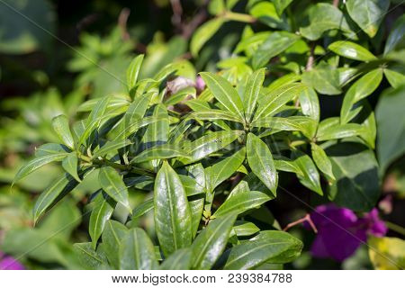 Tropical Plant With Green Leaves Closeup Photo. Blooming Tropical Garden Detail. Beautiful Flora Of