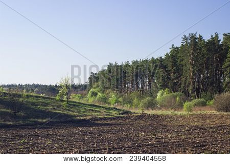 Field Near The Tall Coniferous Trees Under The Blue Sky Cleanly And No One Around