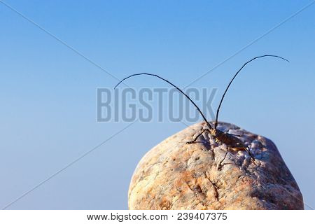 Great Capricorn Beetle (cerambyx Cerdo) Sitting On A Rock On Blue Sky Background, Soft Focus, Select
