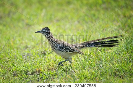 The Greater Roadrunner (geococcyx Californianus) Bird Running Through The Grass In Springtime Texas