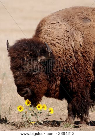 buffalo smelling flowers in a meadow at bad lands national park south dakota. poster