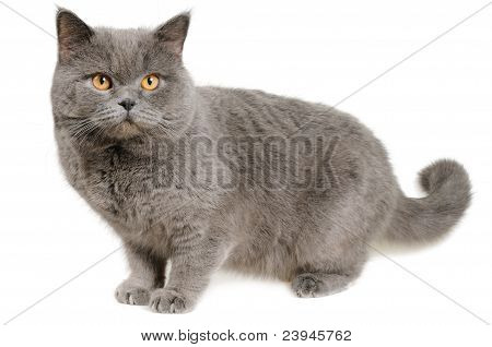 Scared British cat stands and looks right