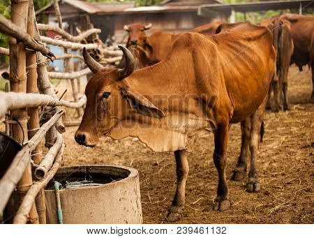 Beautiful Scene Of Cattle Drinking Water In The Natural Rural Agricultural Farm. Livestock Food Indu