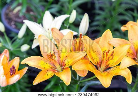 Orange Lily Flower. Beautiful Lily Flower In Lily Flower Garden. Lily Lilium Hybrids Flower. Lily Fl