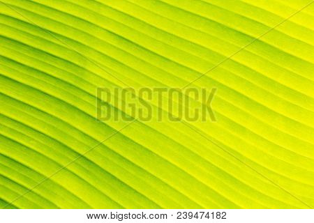 Fresh Leaf Texture Or Leaf Background For Design. Abstract Green Leaf Texture Or Leaf Background. Be