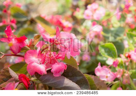Pink Flowers In The Garden, Stock Photo