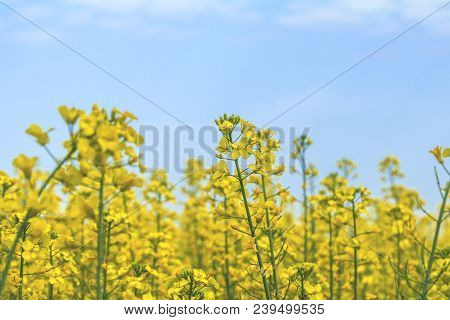 Blooming Yellow Rapeseed Field With Blue Cloudless Sky. Picturesque Canola Field Under Blue Sky With