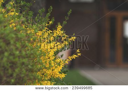Yellow Forsythia Blossom In The City Park On Spring Sunny Day. Beautiful Nature Toned Background, Cl