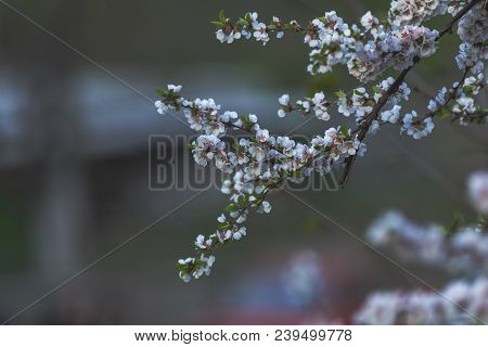 Close Up Of White Blossom Cherry Tree Branch, Nanking Cherry (prunus Tomentosa), During Spring Seaso