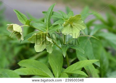 Lenten Rose Flowers Is Spring - Latin Name - Helleborus X Hybridus