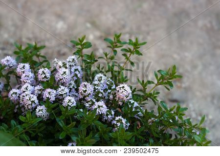 Flowering Savory In Front Of A Blurred Stone Background With Copy Space, Selected Focus, Narrow Dept
