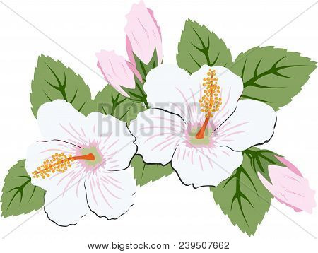Beautiful Pink Hibiscus Flowers With Leaves On White Background