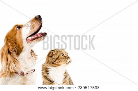 Portrait Of A Dog Russian Spaniel And Cat Scottish Fold, Isolated On A White Background