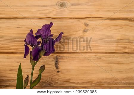 A Fresh Beautiful Purple Iris Lies On A Wooden Textured Background. An Iris Is Just Cut From The Hom
