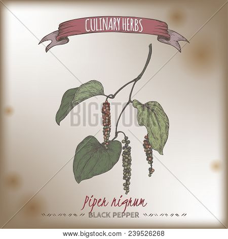 Black Pepper Aka Piper Nigrum Hand Drawn Color Sketch. Culinary Herbs Collection. Great For Cooking,