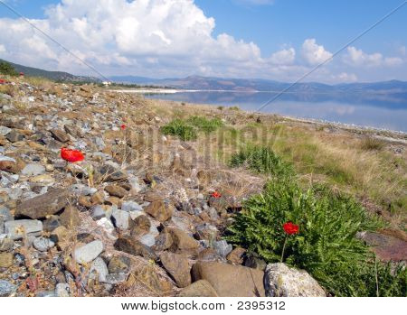 Red Poppy In Stones