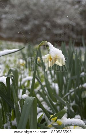 A Colorful Daffodil Flower Covered With Snow Struggles To Survive Winter