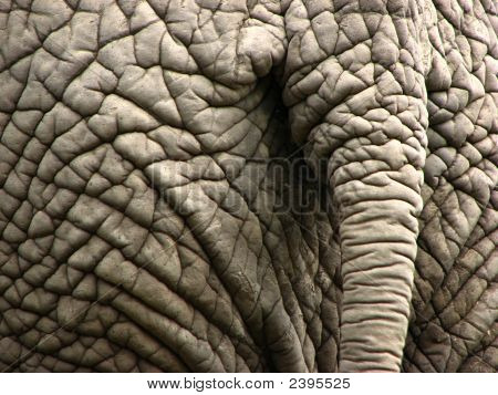 Elephant Wrinkled Skin And Tail