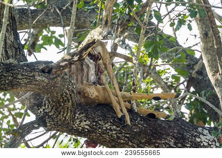 Leopard Kill In A Tree In Kruger National Park, South Africa ; Specie Panthera Pardus Family Of Feli