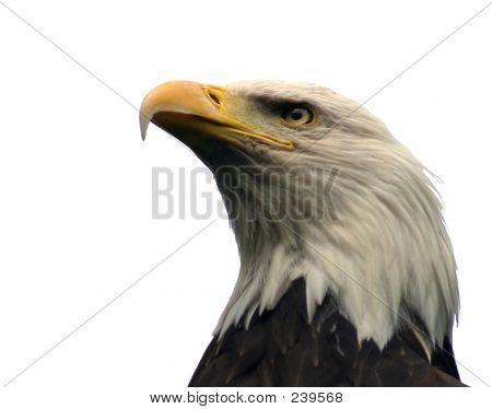 Águila calva, aislado